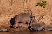 Hippo mother and calf along the Mara river, Kenya