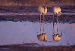 Sandhill Cranes  standing in the Platte River, Nebraska