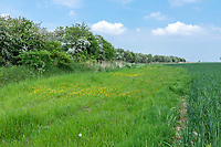 Field margin / buffer strip with mature hawthore  - lIncolnshire, June