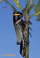 0913-0810  Adult Horse Lubber Grasshopper - Taeniopoda eques © David Kuhn/Dwight Kuhn Photography.