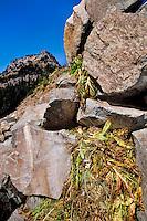 Pika bringing plants into its haypile for winter.  Subalpine rockpile, Pacific Northwest.  Sept.