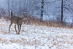 Snow falling on a doe in northern Wisconsin.