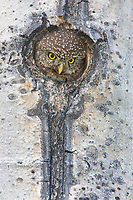 A female Pygmy Owl pops up to fill the nest cavity entrance, where she calls for her mate to deliver food. (Cascade Mountains)
