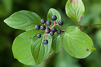 Blutroter Hartriegel, Frucht, Früchte, Cornus sanguinea, Common Dogwood, Dogberry, fruit, Cornouiller sanguin