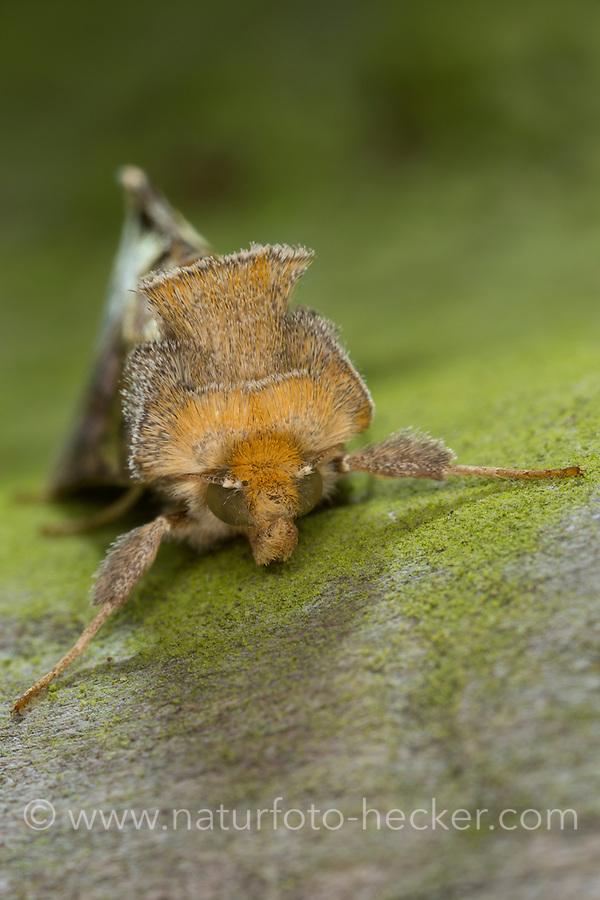 Messingeule, Messing-Eule, Diachrysia chrysitis, Plusia chrysitis, Phytometra chrysitis, Burnished brass, Eulenfalter, Noctuidae, noctuid moths