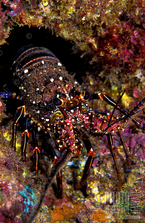 The Banded Spiney Lobster (Panulirus marginatus) hides in the coral reef. It is a favored food item by many spearfisherman and lobster hunters. Hawaiian name is Ula