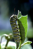 MO02-011b   Monarch Butterfly - caterpillar on milkweed eating - Danaus plexippus  ..