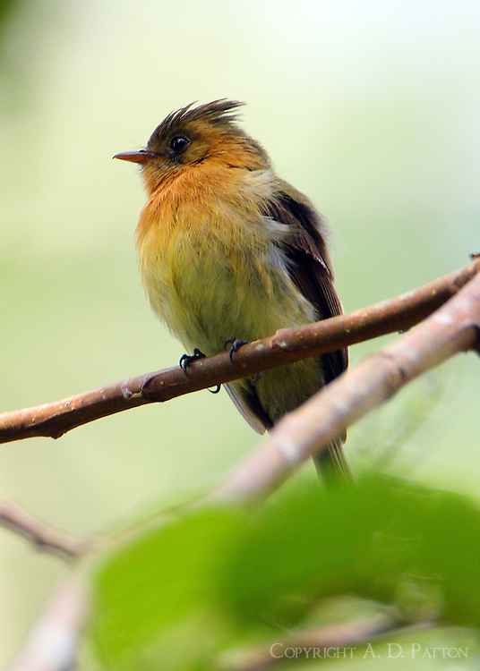 Tufted flycatcher. I found this bird and its mate nesting in a tree on the bank of the Savegre River and watched as he chased a squirrel out of the nest tree.
