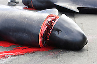 Whaling. Long-finned Pilot whales ( Globicephala melas ) Carcass from Grindadrap on harbour in Torshavn, Faroe Islands, North Atlantic