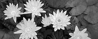 White tropical water lilies. Hughes Water Gardens, Oregon