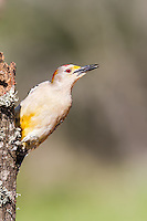 Male Golden-Fronted Woodpecker perched on tree, leaning out from tree