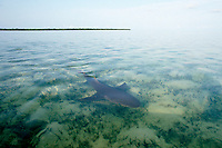 lemon shark, Negaprion brevirostris, female swimming through shallow lagoon after giving birth, Bimini, Bahamas, Caribbean Sea, Atlantic Ocean