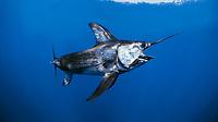 swordfish, or broadbill, Xiphias gladius, Cocos Island, Costa Rica, Pacific Ocean