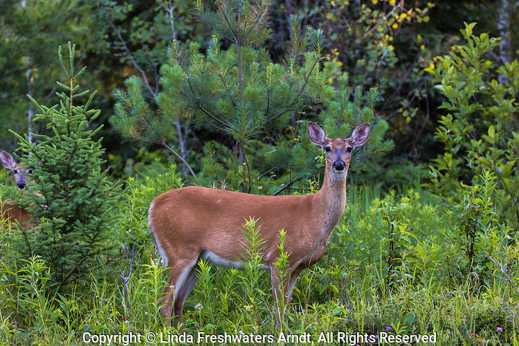White-tailed doe and yearling in northern Wisconsin.