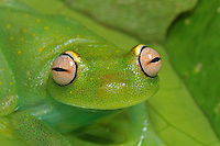 Polkadot, Spotted Emerald Glass Tree Frog (Hyla punctata)