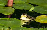 0612-0902  Northern Green Frog in Pond with Vocal Sac Inflated Calling for Mate, Lithobates clamitans, formerly Rana clamitans  © David Kuhn/Dwight Kuhn Photography