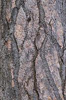 Schwarz-Kiefer, Schwarzkiefer, Kiefer, Rinde, Borke, Stamm, Pinus nigra, Pinus austriaca, Black Pine, bark, rind