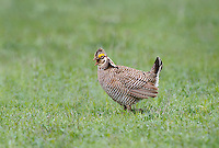 572110273 a wild lesser prairie chicken tympanuchus pallidicintus displays and struts on a lek on a remote ranch near canadian in the texas panhandle