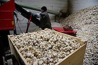 GERMANY, Lampertheim, garlic farming / DEUTSCHLAND, Lampertheim bei Worms, Pantiru Knoblauchkulturen GbR und Saatguthandel, Vorbereitung von virenfreiem Saatgut der Firma Planasa in Spanien