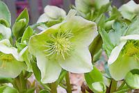 Helleborus x nigercors HGC Green Corsican hellebore