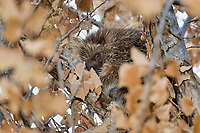 North American porcupine (Erethizon dorsatum)--also known as the Canadian porcupine or common porcupine--sleeping in cottonwood tree.  Western U.S., late fall.