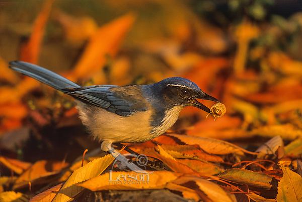 California scrub jay or Western Scrub Jay (Aphelocoma californica) caching peanut among fall leaves,  Pacific Northwest.  Fall.
