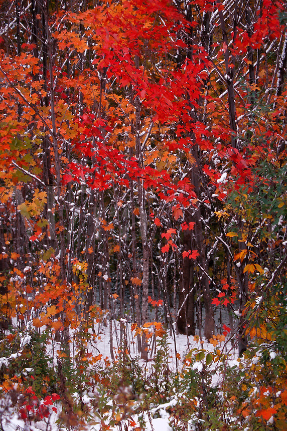Fall foliage in snow, Grafton Notch, Maine
