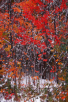 Fall foliage in snow, Grafton Notch, Maine