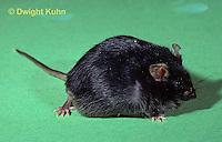 MU55-008z  Diabetic Obese Mutation Mouse