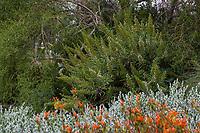 Echium hybrid flowering in Fullerton Arboretum, Southern California; Echium gigantium, candicans, and/or simplex