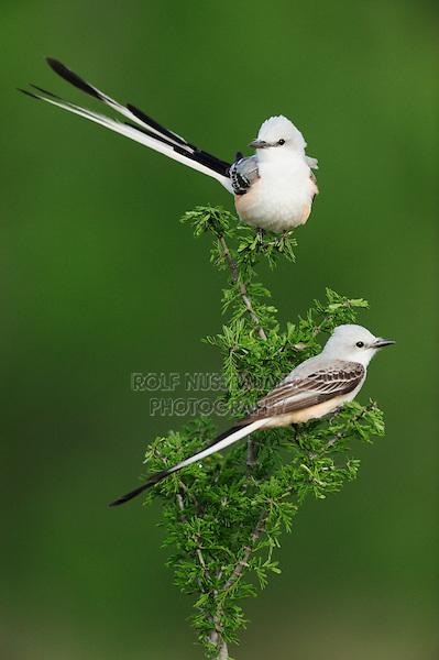 Scissor-tailed Flycatcher (Tyrannus forficatus), pair perched, Laredo, Webb County, South Texas, USA