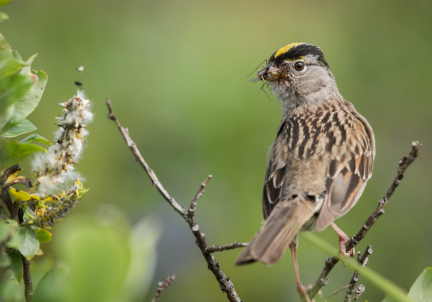 A Golden Crowned Sparrow (Zonotrichia atricapilla) collects insects for its young in the alpine tundra of Southcentral Alaska.  Photo by James R. Evans