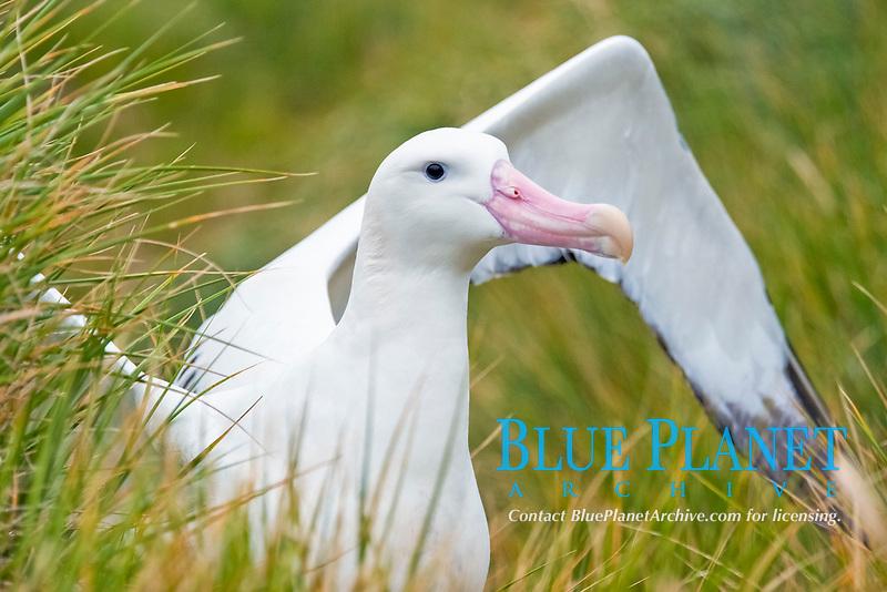 Wondering Albatross (Diomedea exulans) adult bird displaying. South Georgia, South Atlantic Ocean