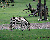 0209-08tt  Hartman's Mountain Zebra, Equus zebra hartmannae © David Kuhn/Dwight Kuhn Photography