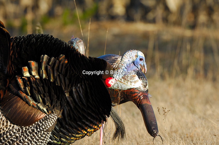 01225-091.20 Wild Turkey tom is checking out hen decoy from behind.  Hunt, gobble, strut, spring, breed, call, yelp.  H5R1
