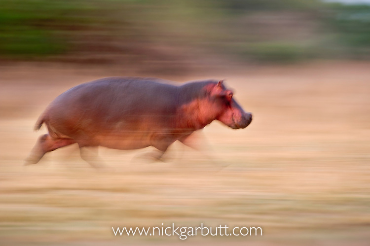 Adult Hippo (Hippopotamus amphibius) running back to Luangwa River just after dawn. South Luangwa National Park, Zambia.