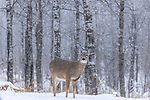 LIght snow falling on a white-tailed doe in northern Wisconsin.