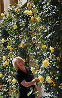 BNPS.co.uk (01202 558833)<br /> Pic: ZacharyCulpin/BNPS<br /> <br /> Blenheim in bloom...<br /> <br /> One of Britain's most historic stately homes is expecting a bumper year for its stunning roses with some already in full bloom.<br /> <br /> Blenheim Palace, the birthplace of Sir Winston Churchill, is currently closed to visitors due to the coronavirus pandemic so this might be the only chance to see some of their stunning floral displays.<br /> <br /> With a reduced team of gardeners tending to the formal gardens and 2,000 acres of Capability Brown-landscaped parkland, there is little time for staff to stop and smell the roses.<br /> <br /> But if they could there is a spectacular climbing rose called Dreaming Spires, which grows up the walls of the Palace's orangery, that is already in full bloom and its 'wonderwall' of wisteria is also looking incredible.