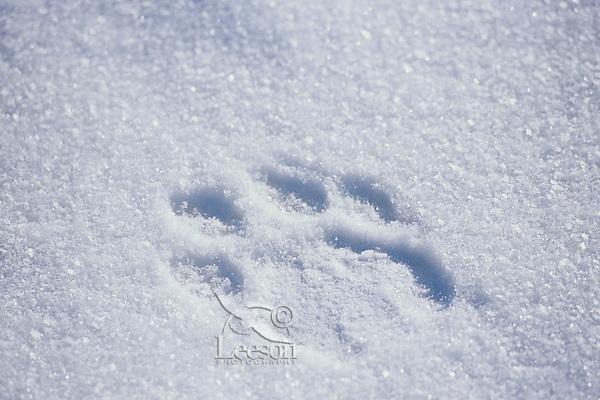 Siberian Tiger (Panthera tigris altaica) track in snow.