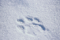 Siberian Tiger (Panthera tigris altaica) track in snow.