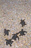 Kemp's ridley sea turtle hatchlings, Lepidochelys kempii (c-r) crawl toward ocean after release from hatchery, Rancho Nuevo, Mexico, Gulf of Mexico, Caribbean Sea, Atlantic Ocean