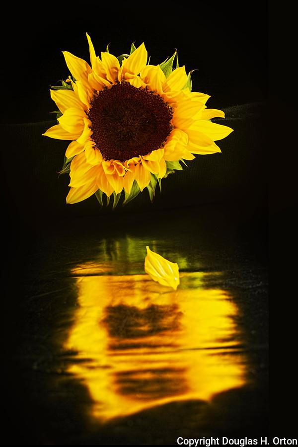 Sunflower, reflected in black.  Wall art.