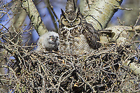 Great Horned Owl and chicks sitting in a nest