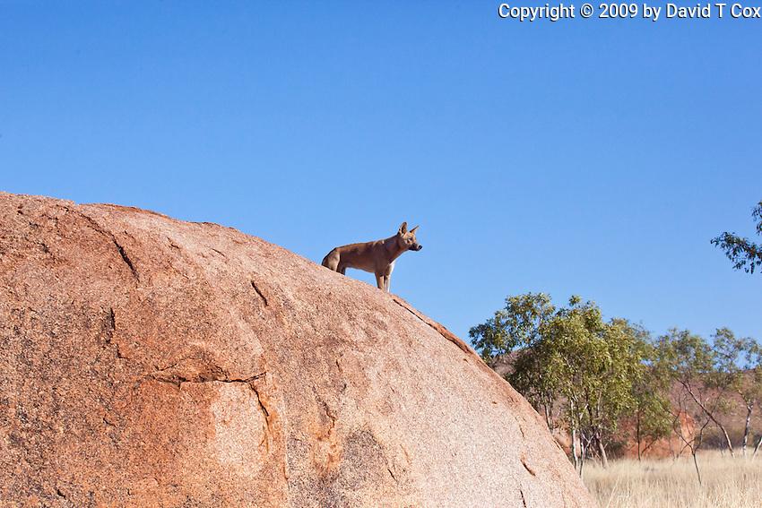 Dingo at Devil's Marbles, NT Outback, Australia
