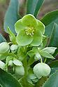 Helleborus x sternii, late February.