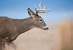 Rutting Whitetail Buck
