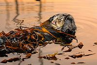 Southern sea otter, Enhydra lutris nereis, resting in kelp, female, yawning, reflection, sunset, dusk, Monterey, California, USA, pacific ocean, national marine sanctuary, endangered species