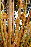A hapu'u (native Hawaiian fern) tree in a rainforest in Volcano, Big Island; these stems will unfurl and produce huge green fronds. A hapu'u tree can reach heights of 20 to 30 feet or more.