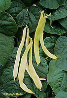 HS30-111x   Bean - pole bean - Grand Bianco variety