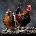 05/05/08 - LAMOTTE BEUVRON - LOIR ET CHER - FRANCE - Elevage avicole de Pascal BOVE. Coq et poule Hollande Skriel - Photo Jerome CHABANNE